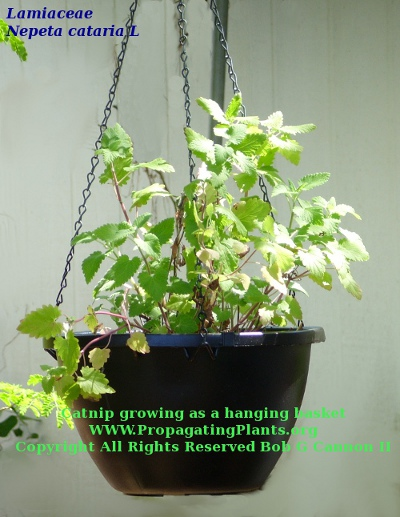 Catnip in a